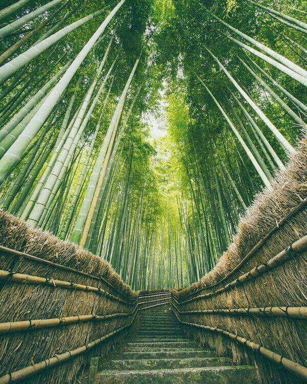 صور غابات ساجانو للخيزران في اليابان ما يميزها إضافة إلى جمالها هو الصوت الذي تصدره الأشجار حين تحركها الرياح Earth Pictures Japan Photography Forest Photos