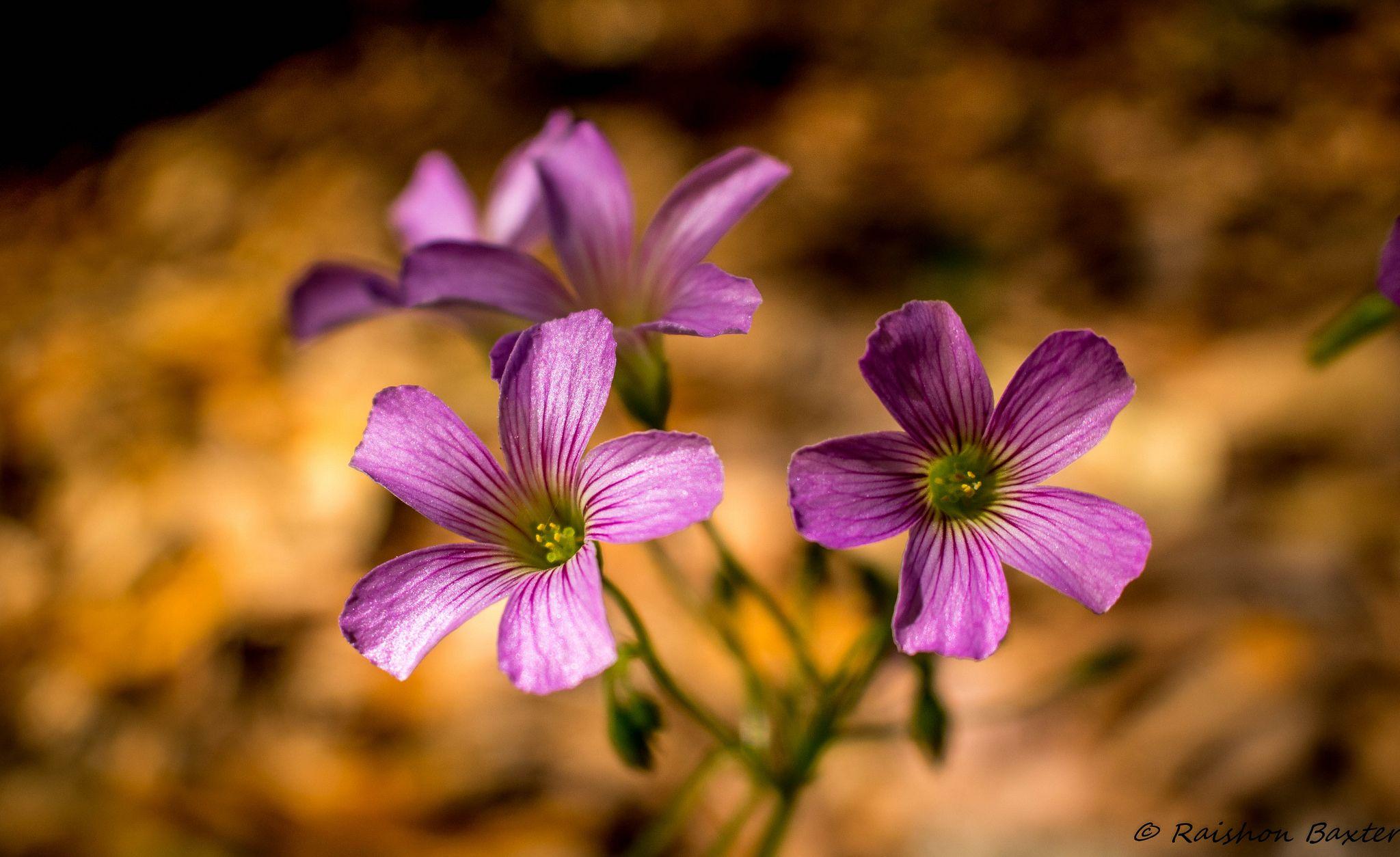 Lilac Oxalis