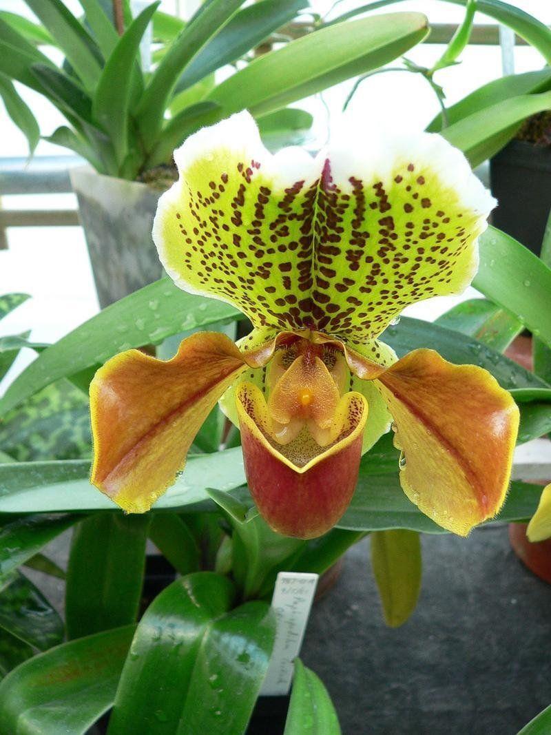 Orchid paphiopedilum cockade uchiltonu photographed at smith