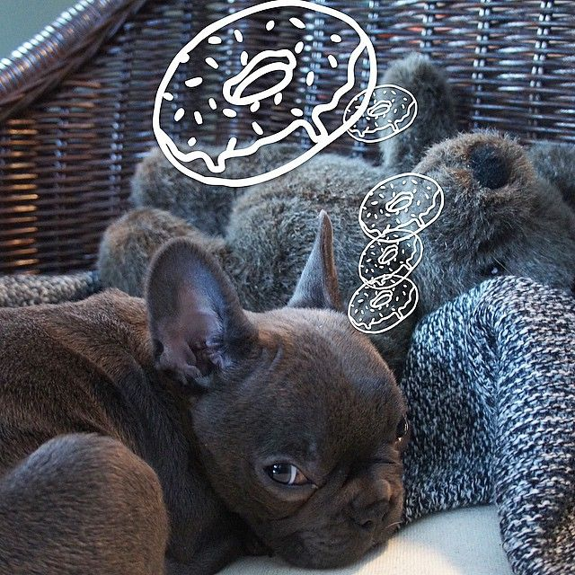 French Bulldog Puppy Dreaming Of Donuts Dog Love French