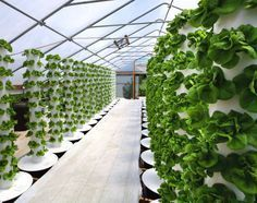Greenhouse at Sunrise Hydroponics--amazing story. Even more amazing that our country turns a blind eye while pretending to be looking for an answer.