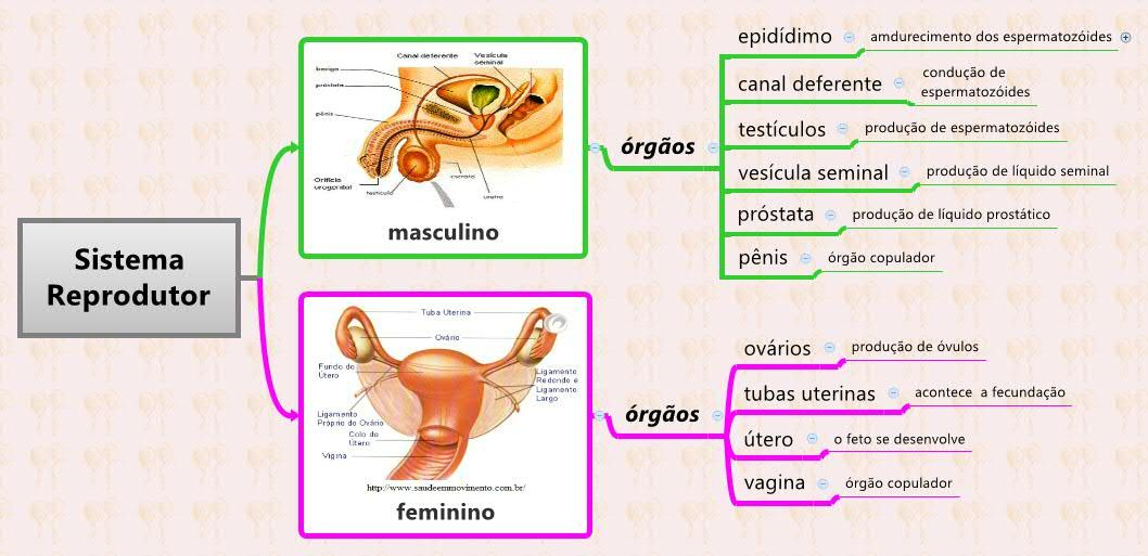 Sistema Reprodutor Mapas Mentais Mapa Mental Mapa
