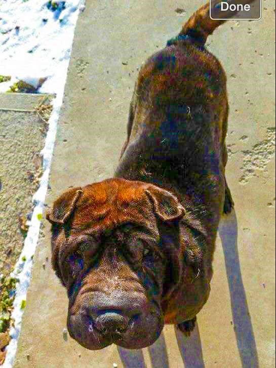Back Home Dog - Shar Pei - Jackson, OH, United States 45640