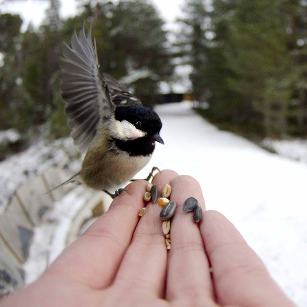 2 CUTE Nature photographer Jack Perks captured a peckish coal tit in Loch Garten, Scotland. He said: The coal tit seemed hungry and happy to take the seed offered; I don't think there is much to eat at the moment for them. Picture: Jack Perks/Rex Features Animal pictures of the week: 18 January 2013 - Telegraph