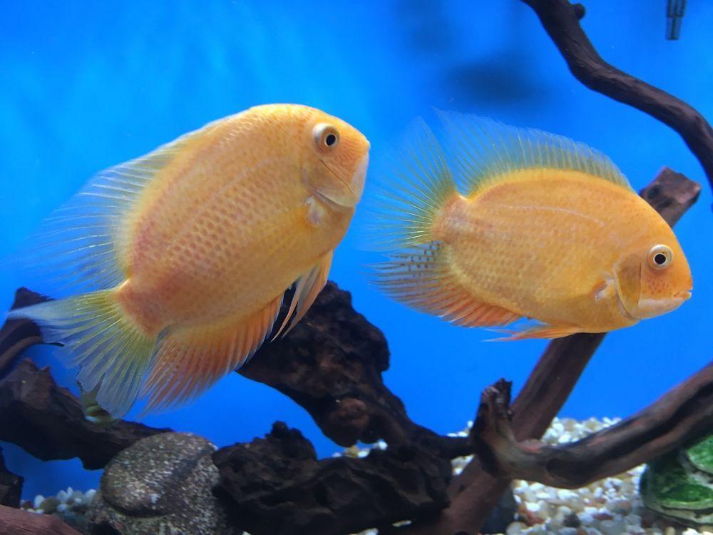 Golden Green Severums 6 Inch Electric Blue Acara 3 Inch South American Cichlids Health Aquarium Fish Fish For Sale Live Aquarium Fish