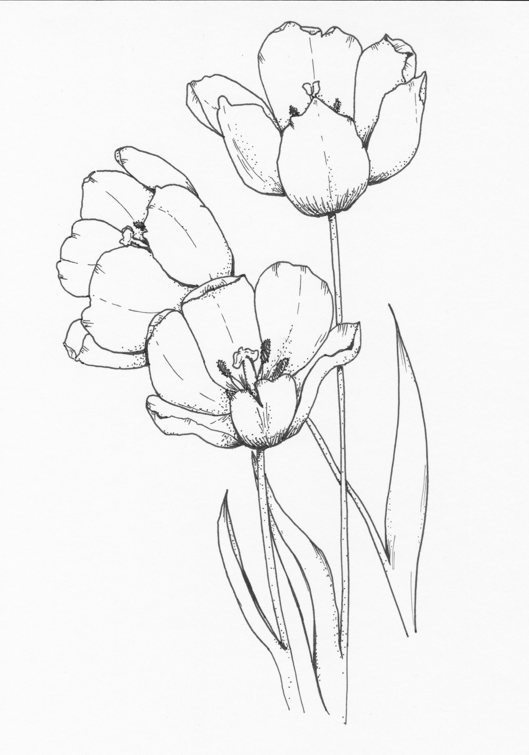 One Tulip Two Tulip Three To See More Of Our Work Go To Our Website Www Lessoeursarts Com Sketch Custom Line Art Drawings Drawings Ink Illustrations