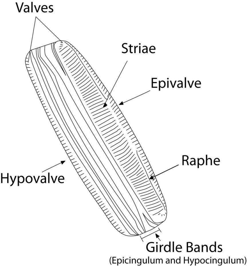 hight resolution of diatom diagram by skipperthepilot