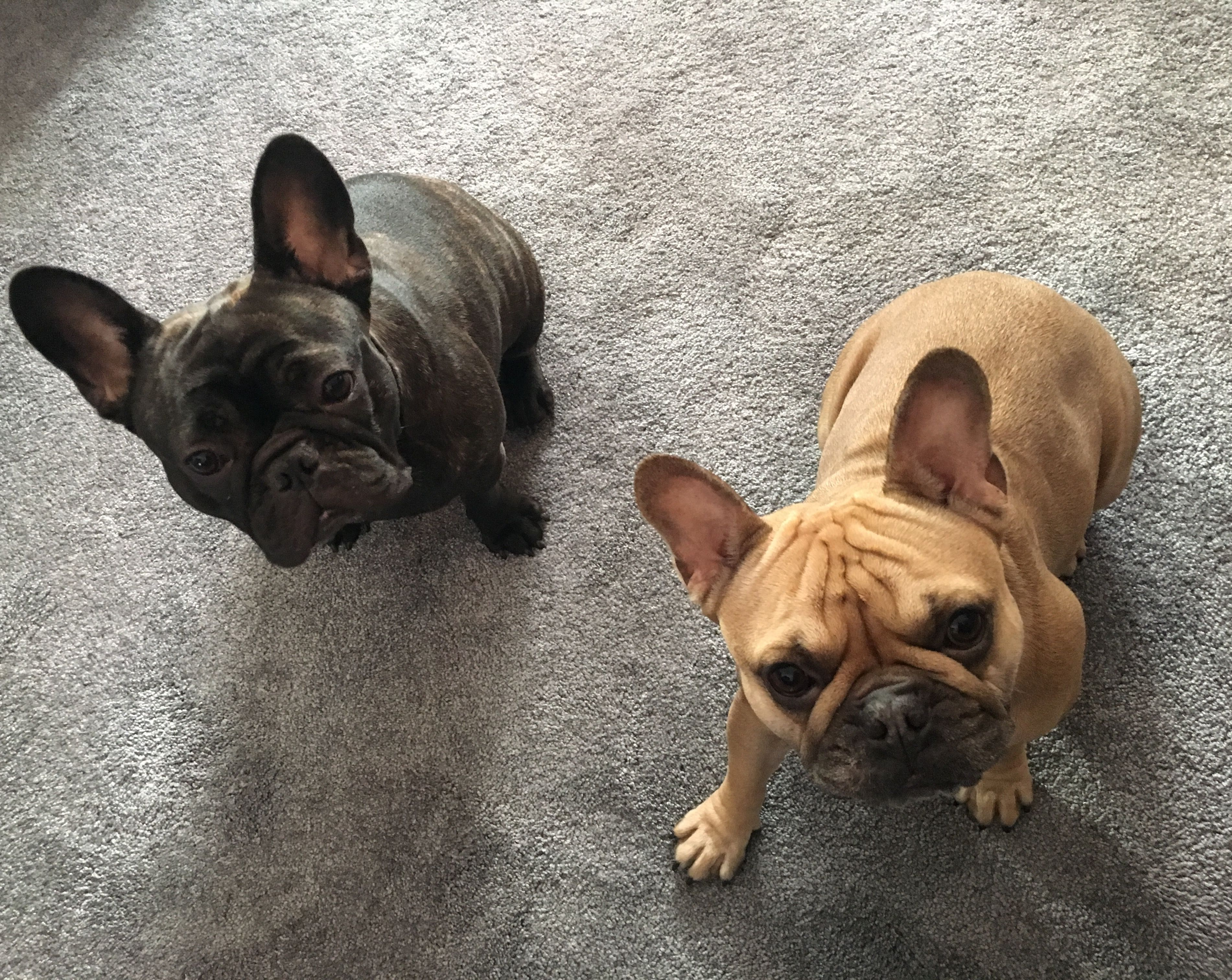 disco & kiki our brindle and fawn french bulldogs. we love