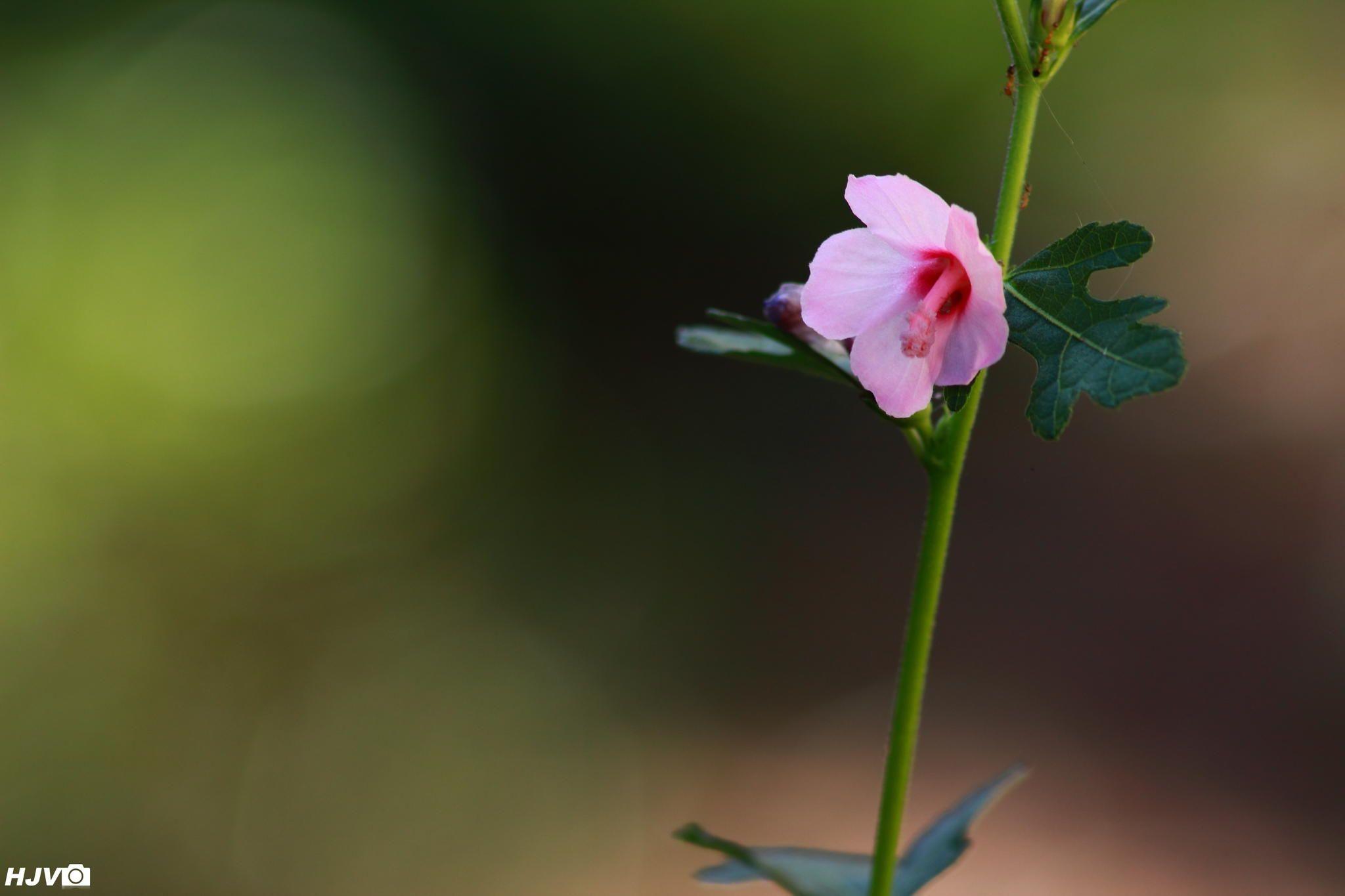 Caesar Weed Flower Urena Lobata Harshith Jvlongs To Family