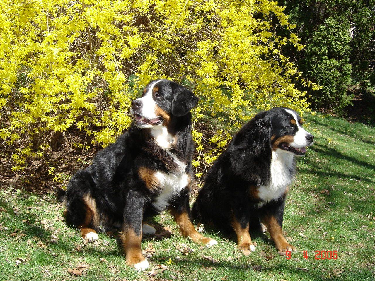Geneva and Gundrun Bernese mountain dog, Great swiss