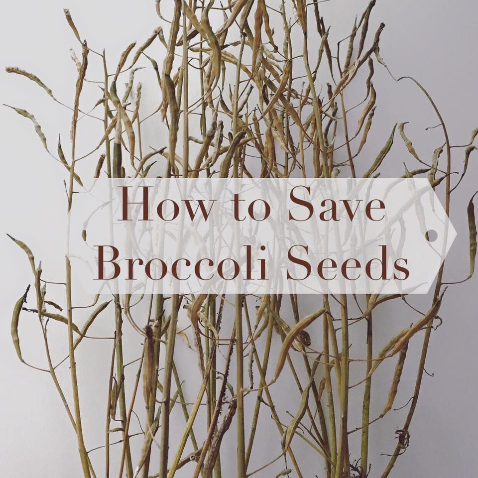 Broccoli Seeds For Next Years Homestead