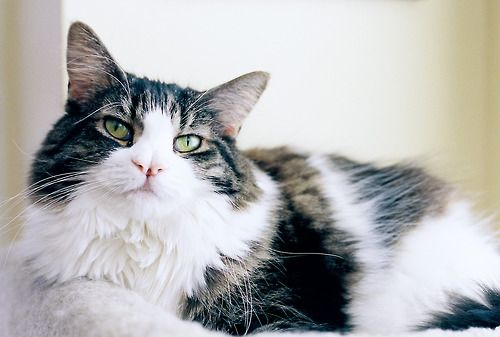 dreamcamera: my cat Chloe is the best {Nikon FM2 and Kodak Portra 400}