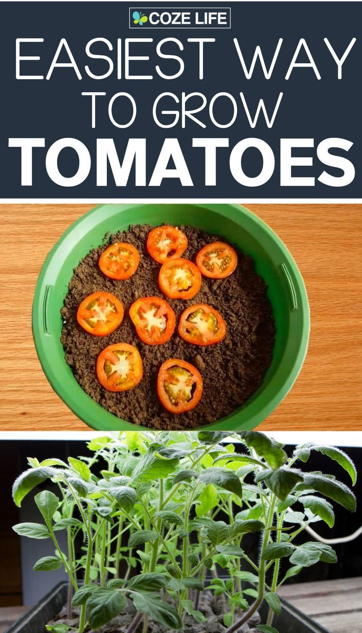 How to grow tomatoes at home indoors using fresh tomato slices. The best method #tomatenzüchten