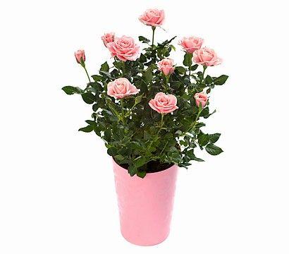 zwerg rose topf rose china rose busch gef llt melanie nils hamburg pinterest. Black Bedroom Furniture Sets. Home Design Ideas