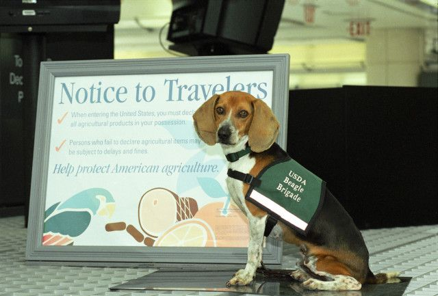 The Beagle Brigade Helps Screen Incoming Passengers At Airports