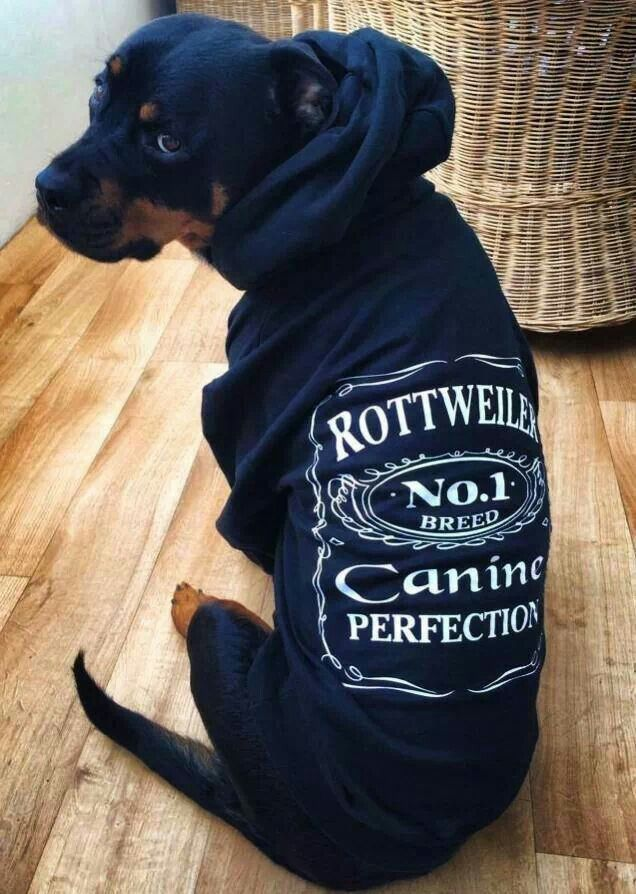 rottweiler loving confident and loyal hunde tierliebe und joko. Black Bedroom Furniture Sets. Home Design Ideas