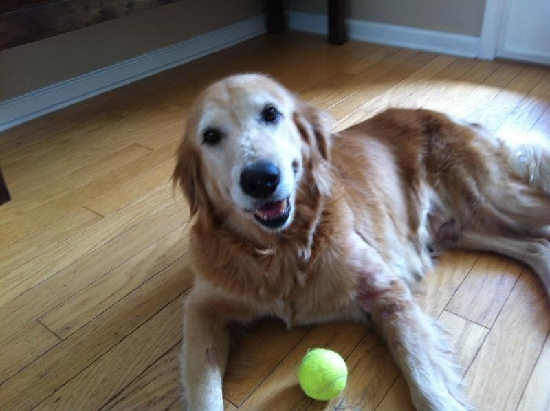 Adopt Kate On Dogs Golden Retriever Animal Welfare Adoption