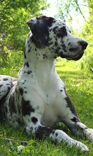 Harlequin Great Dane Great Dane Dogs Dane Dog Great Dane Puppy