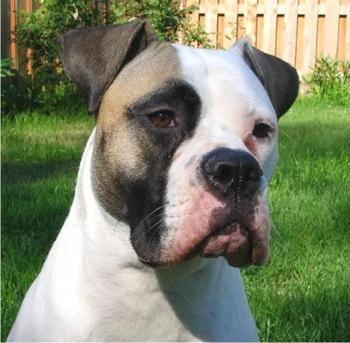 American Bulldog Google Images Bulldogge American Bulldog Welpen