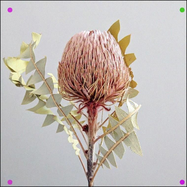 Gorgeous Dried Banksia For Styling Your Interiors Australian Native Flowers Australian Flowers Dried Flowers