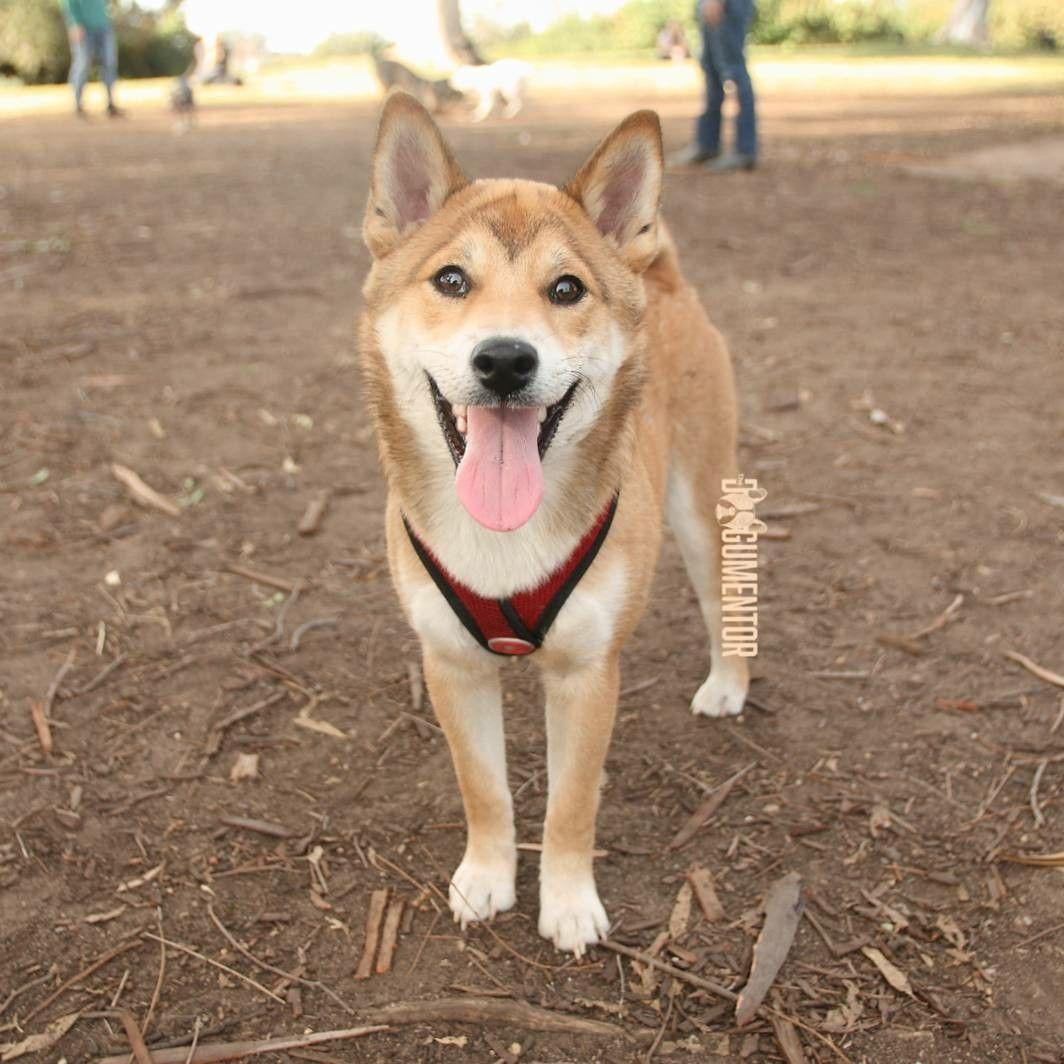 Koda Ru Shiba Inu 6 M O Grape St Dog Park He S Cat Like