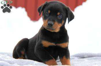 Moe Rotterman Puppy For Sale In Pennsylvania Puppies For Sale