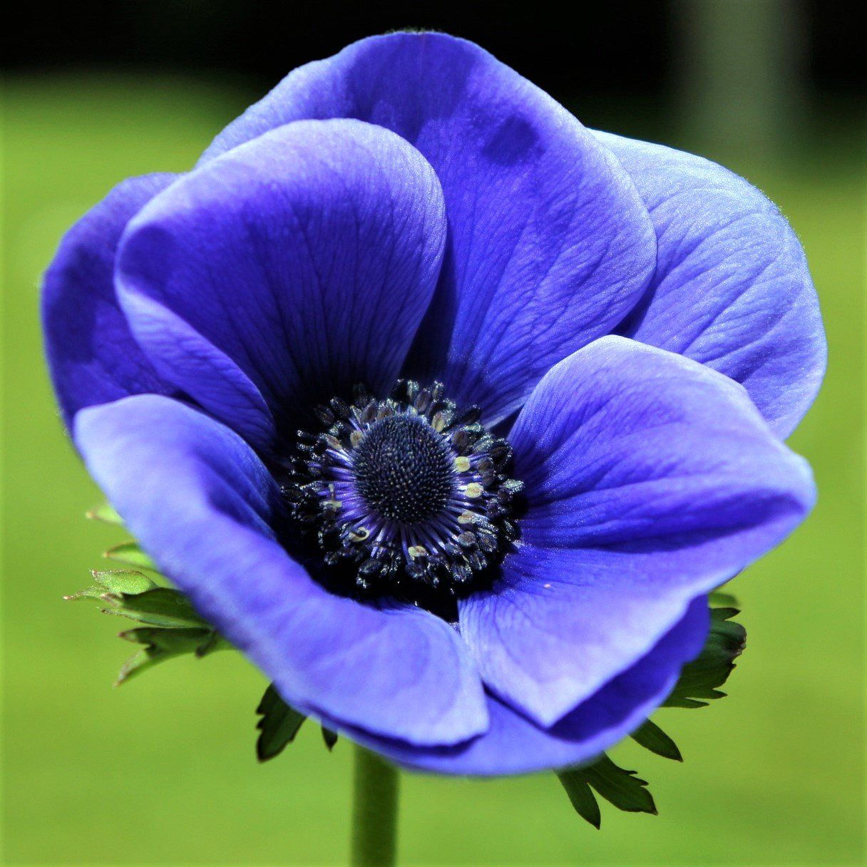 Anemone Blue Poppy Anemone Flower Blue Flowers Images Anemone