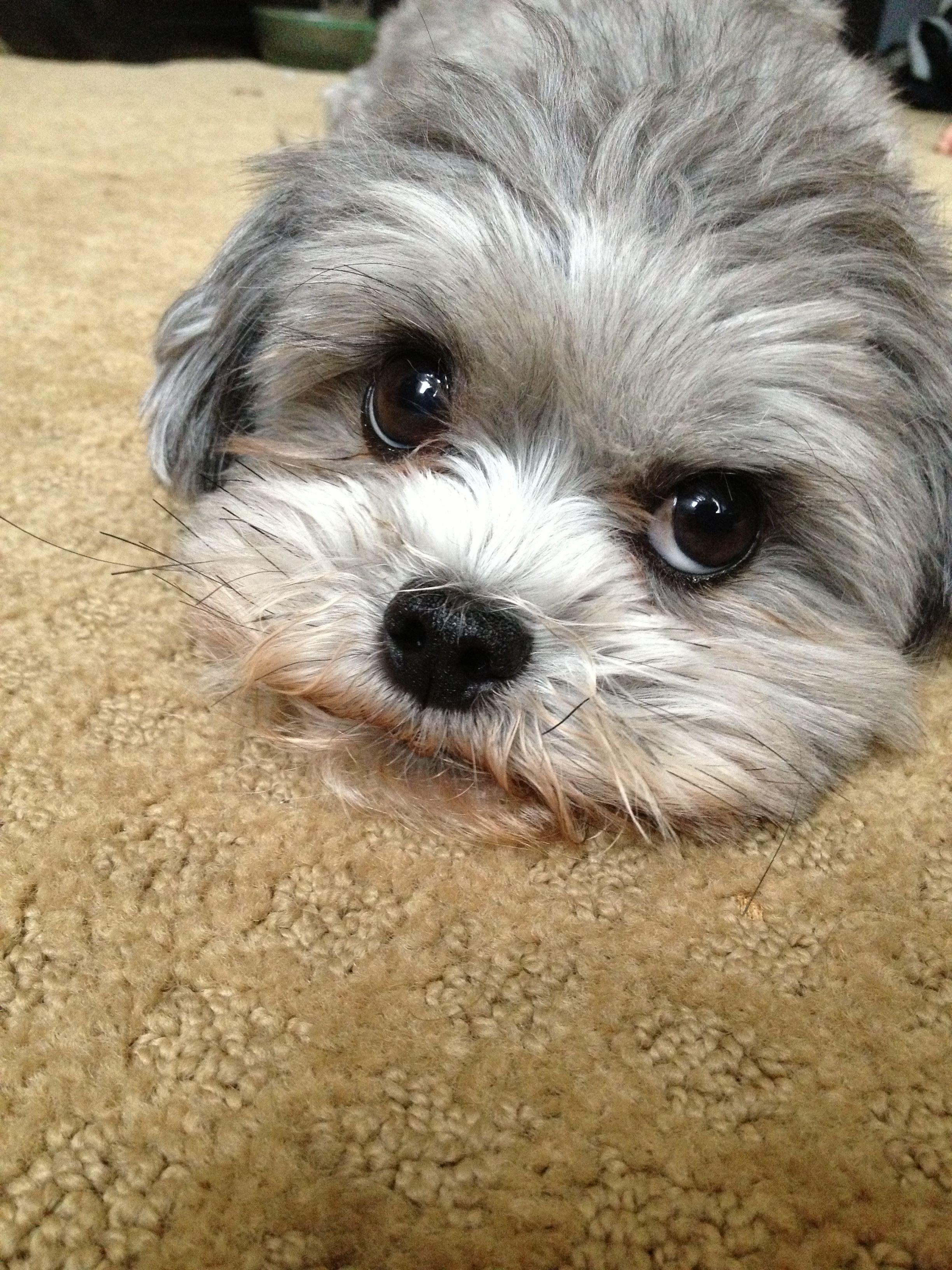 Looks like out little princess shitzu poodle mix adorable puppy