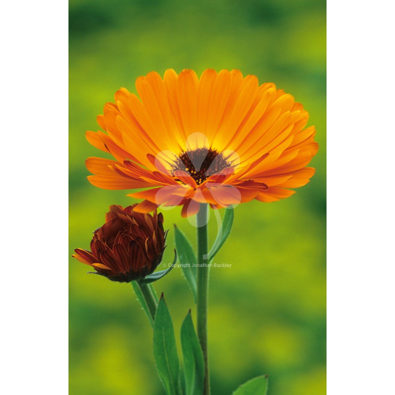 Calendula officinalis 'Indian Prince' Calendula, Flower