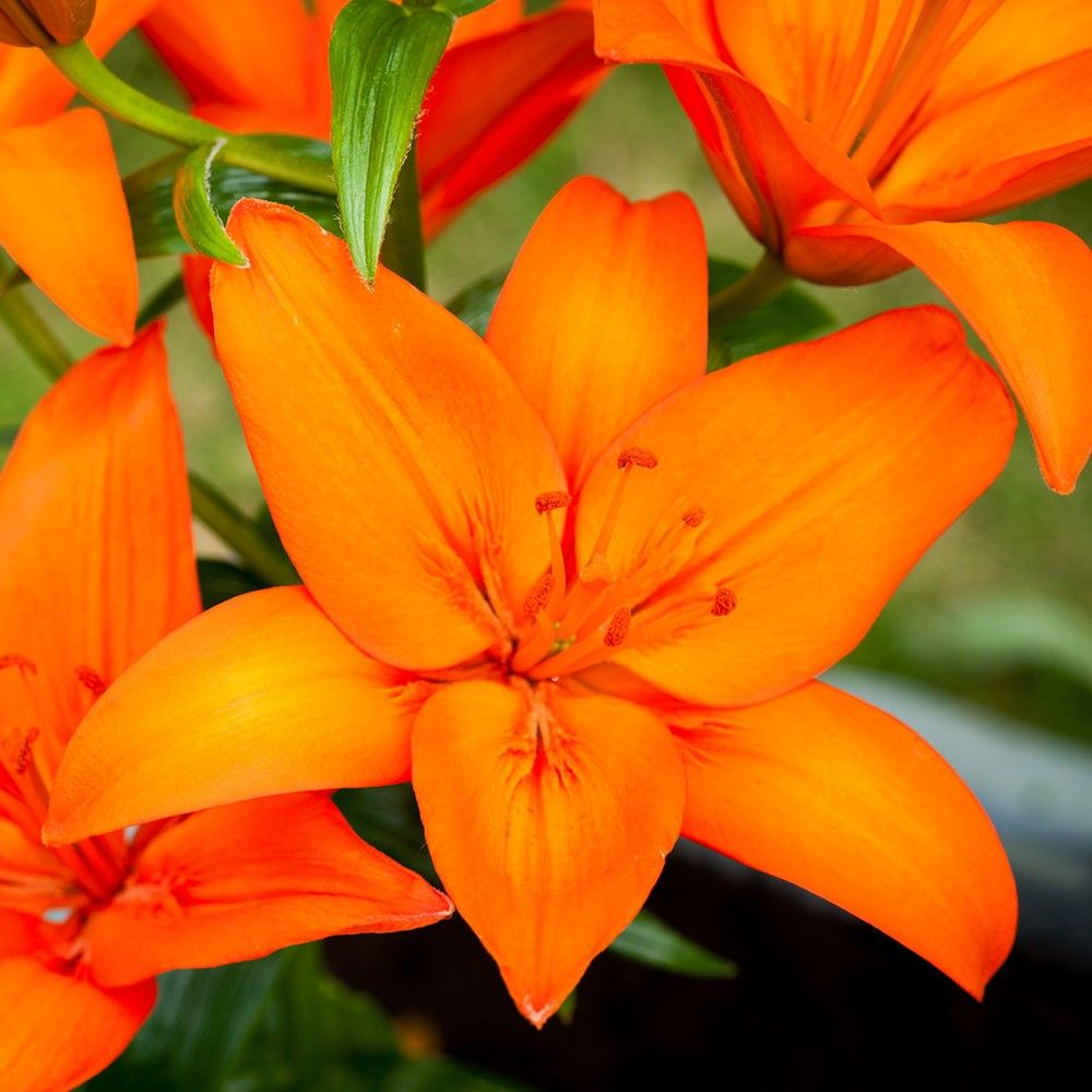 Asiatic lily orange ton flowers pinterest asiatic lilies asiatic lily orange ton izmirmasajfo