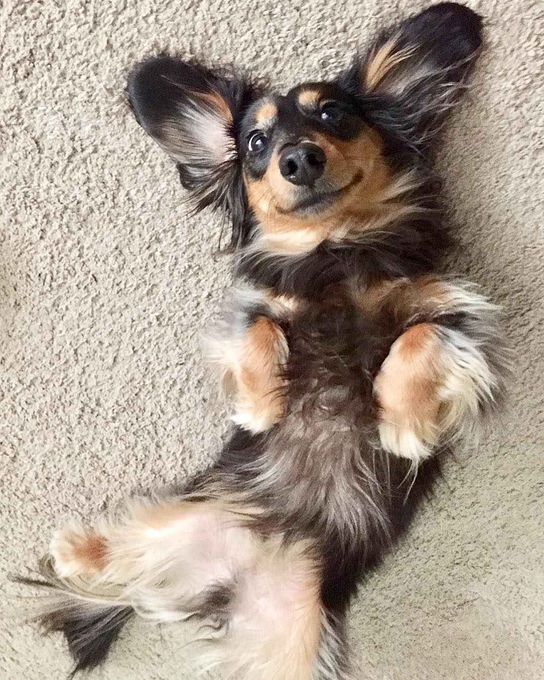 Cute dachshundcute dachshund dogscute dachshundscute