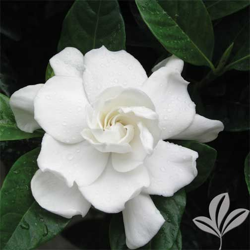 Veitchii Gardenia Plant Shed Landscaping Plants Plants