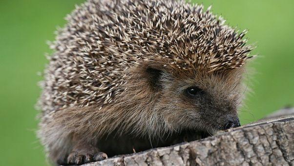 Wallpaper hedgehog, spines, small | Animals | Hedgehog, Animal ...