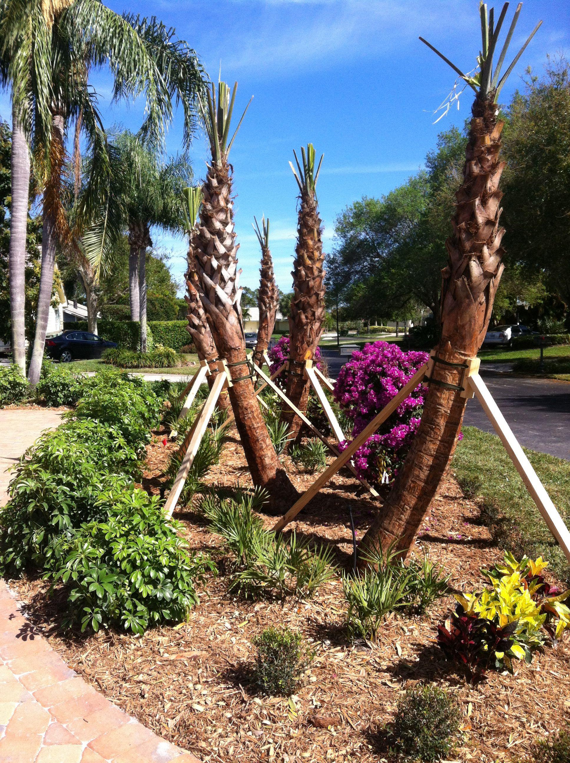 sabal palms tropical dads landscape