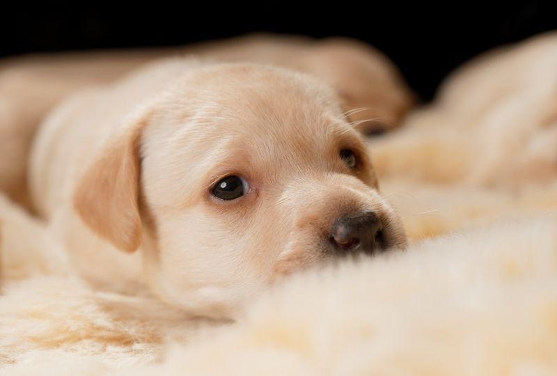 Animal Golden Retriever Dogs Puppy Dog Pet Baby Animal Hd