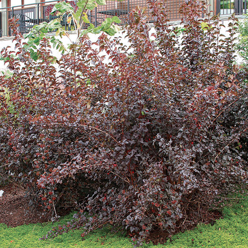 How To Prune Ninebark Finegardening Pruning Shrubs Shrubs Fine Gardening Magazine