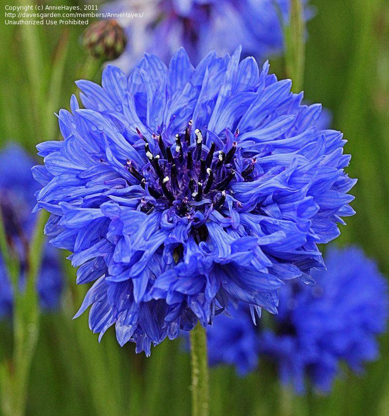 View Picture Of Bachelor 39 S Button Cornflower 39 Blue Diadem 39 Centaurea Cyanus At Dave 39 S Garden All Beautiful Flowers Pretty Flowers Flowers