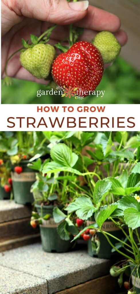 Growing Strawberries: Everything You Need to Know - Garden Therapy