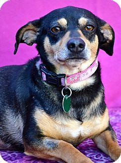 Chattanooga, TN - Chihuahua/Terrier (Unknown Type, Medium) Mix. Meet Laila a Dog for Adoption.