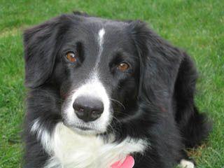 Sooooo Fawkes English Shepherd Losing A Dog Shepherd