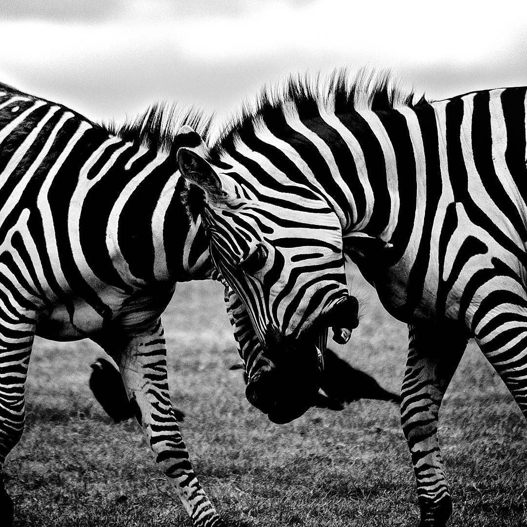 Zebras caught in the action #animallovers #wildlife #wildlifephotography #animalphotography #savannah #Africa #intothewild #zebra #zebras #blackandwhite #fineart