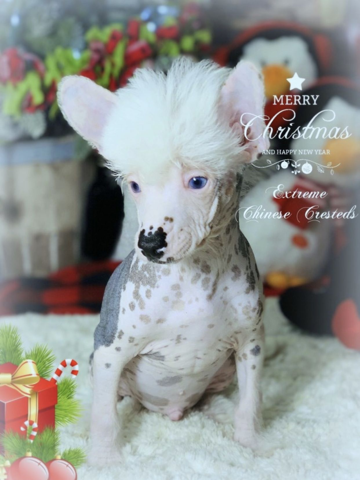 True hairless male Chinese crested, Puppies, Puppies for