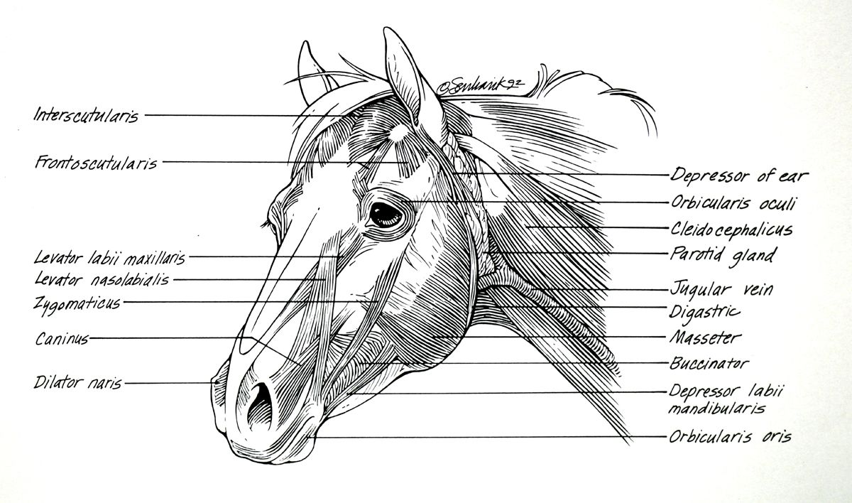 Horse Anatomy Muscles Of The Head Horse Anatomy Horses Head Anatomy