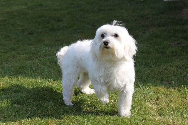 5 Cute Small Hypoallergenic Dogs That Don T Shed Dogvills Dog Breeds Hypoallergenic Dog Breed Best Dog Breeds