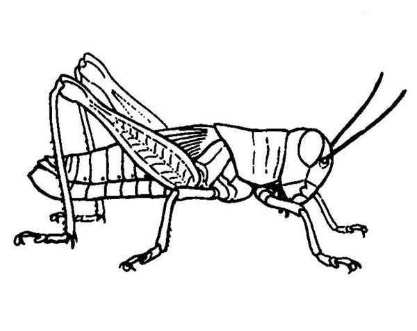 Grasshopper Drawing Grasshopper Picture Coloring Page Jpg 600 477