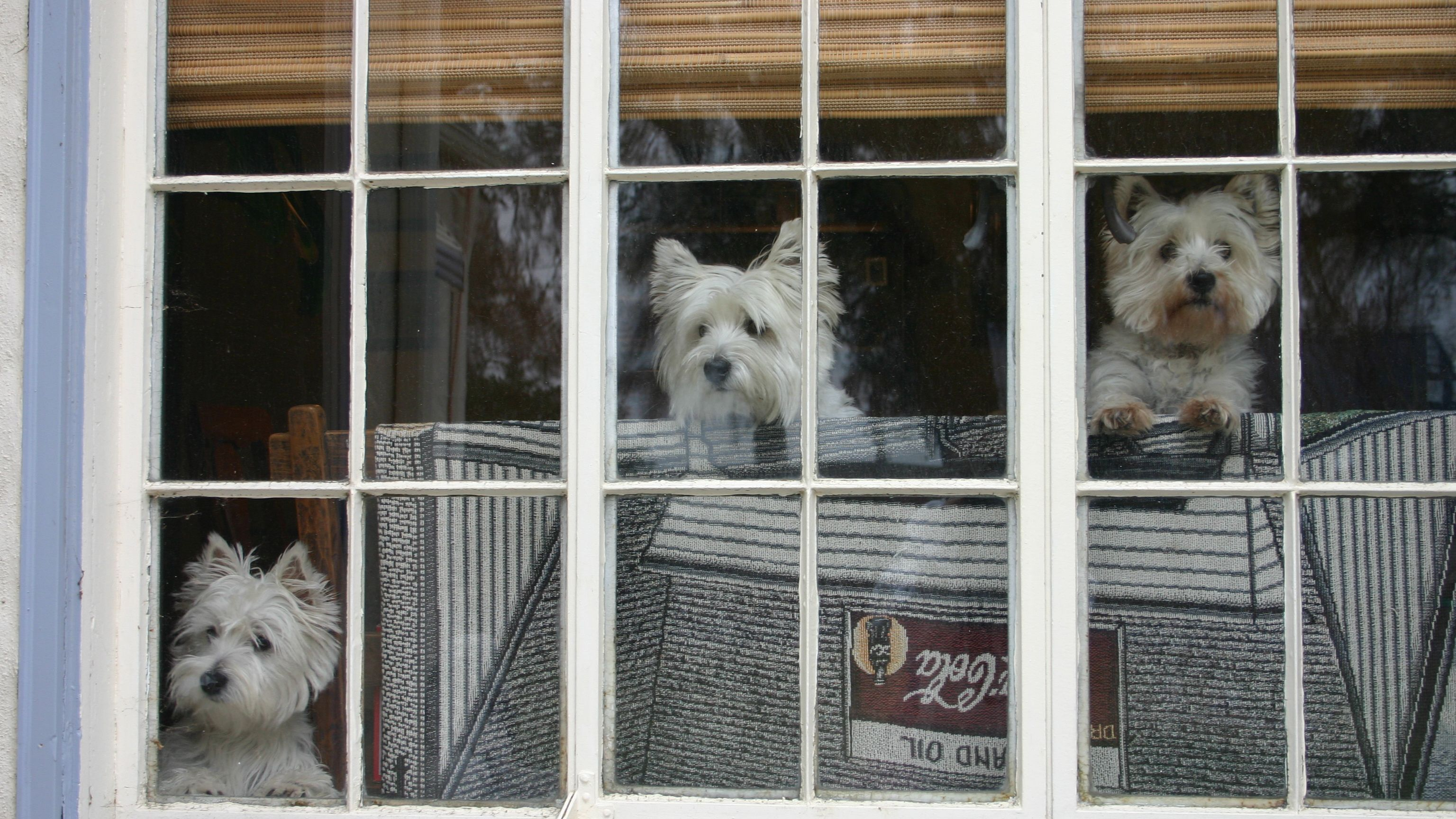 How Much Is That Doggie In The Window Westies West Highland