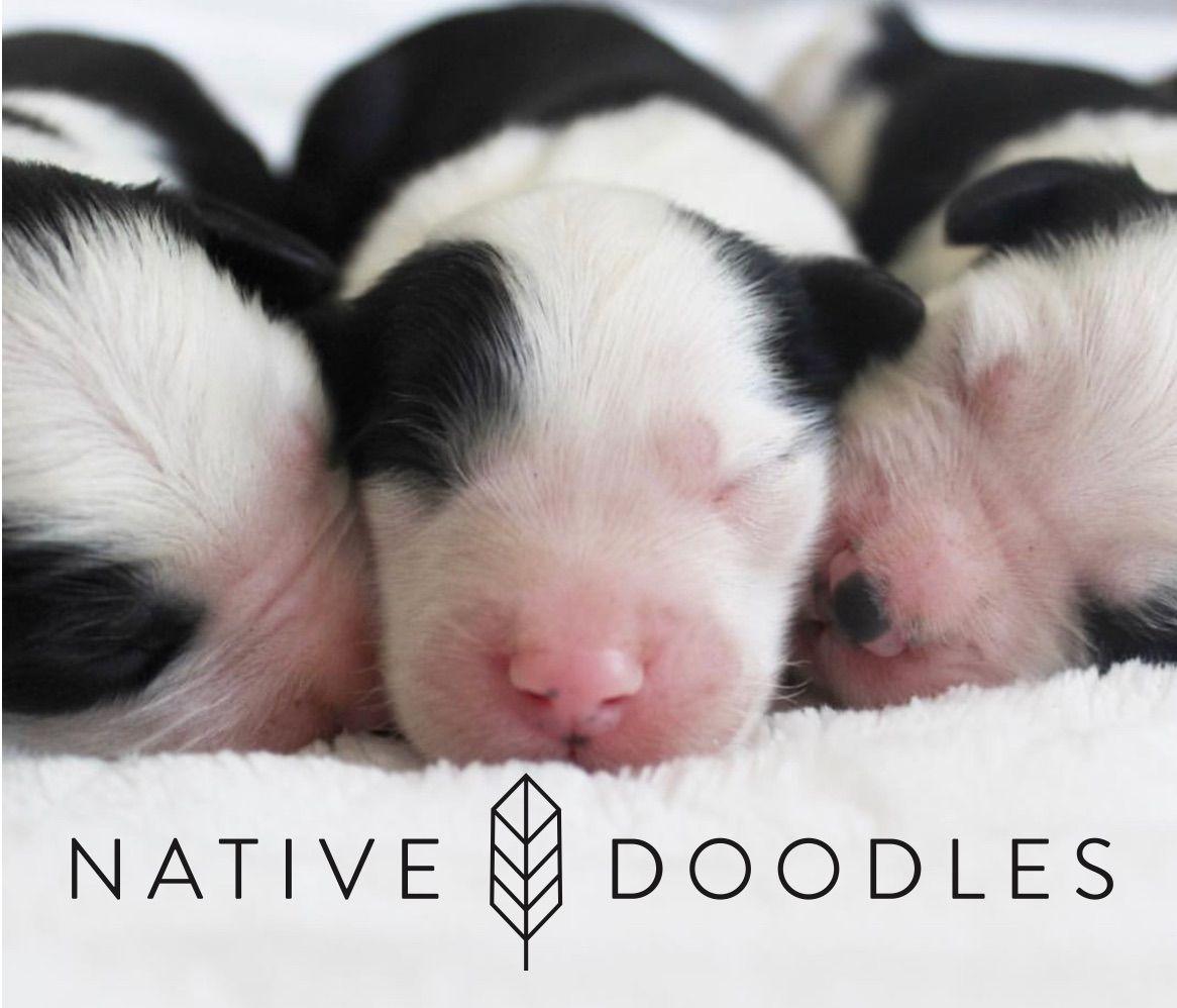 Newborn Mini Sheepadoodles Doodles Animals Nativity