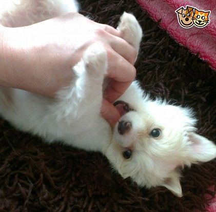 Beautiful Tiny Pedigree Baby Girl Chihuahua Chihuahua Puppies
