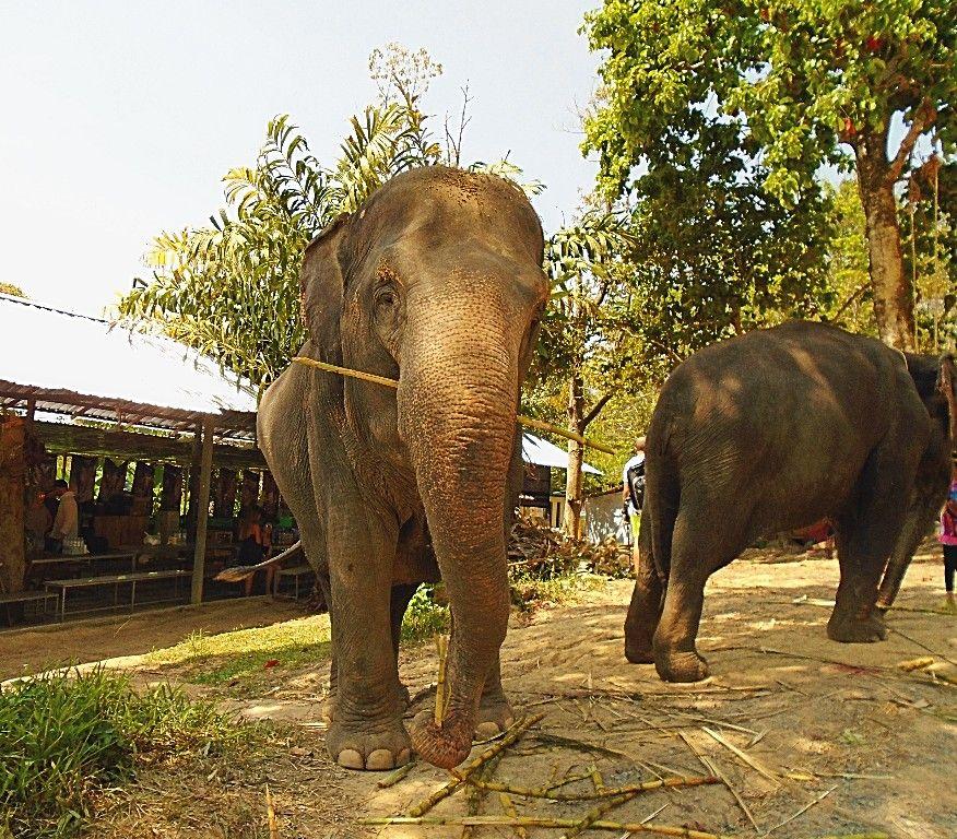 Elephant Jungle Sanctuary Elephant Phuket Beach Life