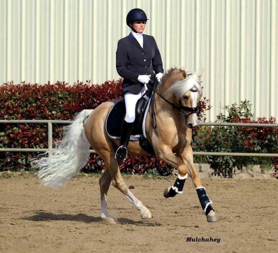 German & Dutch Riding Ponies Golden State [X] [FS Golden